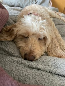 Rosie the Cockapoo having a snooze!